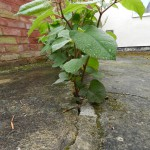 PLR Ltd - Property Damage from Japanese Knotweed