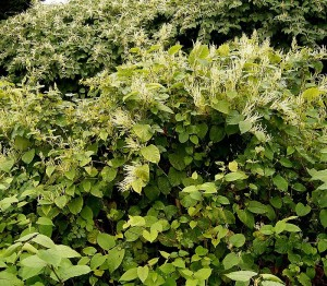 PLR Ltd UK - Japanese knotweed eradication - Summer growth