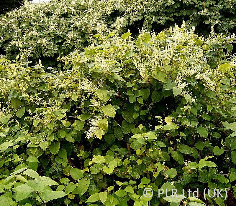 PLR Ltd UK - Japanese knotweed eradication - Fallopia japonica removal - GUARANTEED