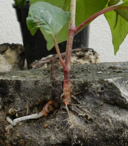PLR Ltd UK - Japanese knotweed eradication - rhizome system penetrates all manner of substrates