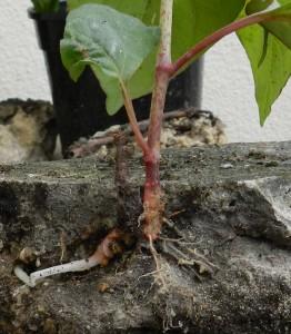 PLR Ltd UK - Japanese knotweed eradication - rhizome system penetrates all manner of substrates