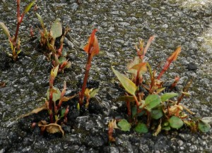 PLR Ltd UK - Japanese knotweed eradication - spring shoots coming up through tarmac