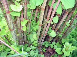 PLR Ltd UK - Japanese knotweed eradication - summer growth showing mottled Fallopia-japonica stems. If you see this on your land or property, call us immediately!