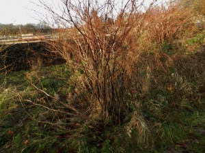 PLR Ltd UK - Japanese knotweed eradication - winter stems