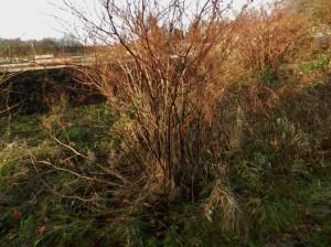 PLR Ltd UK - Japanese knotweed eradication - winter stems