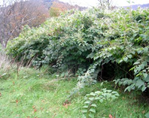 Japanese knotweed in summer along trails - if you see this call PLR Ltd on 0207 042 6450
