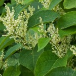 Japanese knotweed in summer - if you see this call PLR Ltd on 0207 042 6450
