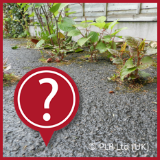 Not sure if it is Japanese Knotweed - contact PLR Ltd UK on 0207 042 6450
