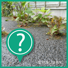 Not sure if what you have is Japanese Knotweed - contact PLR Ltd UK on 0207 042 6450
