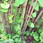 PLR Ltd UK - Japanese knotweed eradication - summer growth showing mottled Fallopia-japonica stems