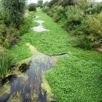 Floating pennywort - like Japanese knotweed, it is an invasive plant. PLR Ltd get rid of Japanese knotweed for you