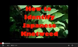How to identify Japanese knotweed - guest video on PLR Ltd. If you have it, call 0207 042 6450 for advice and help