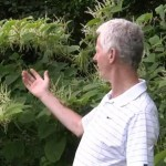 PLR Ltd - Identification of Japanese knotweed - guest video by Irish Angling Update
