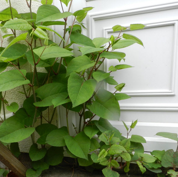 PLR Ltd UK - Japanese knotweed and other invasive weeds eradication - invasive growth by front door of house